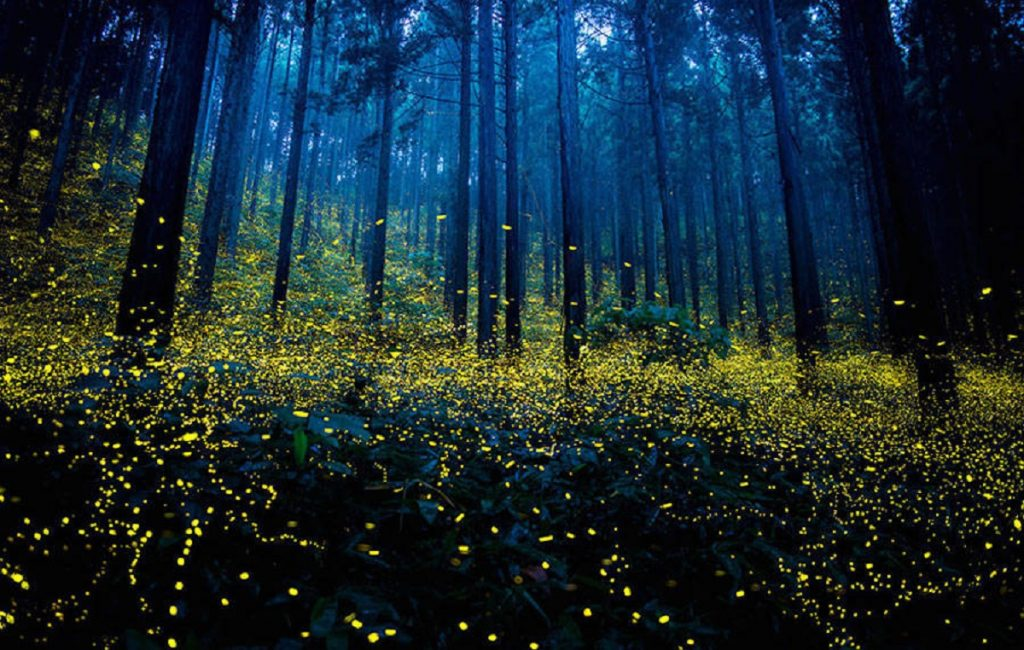 The Mating Fireflies And The Sparkling Western Ghats